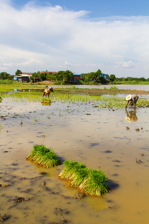 Thailand rice farmers planting rice in the paddy fields with water  photo