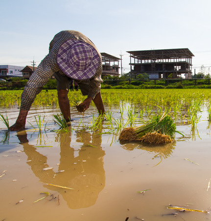 farmer planting rice in a paddy field with buildings in the background   photo
