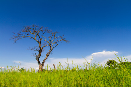 naturally: Dead trees dry naturally in the field, with the sky as a backdrop  Stock Photo