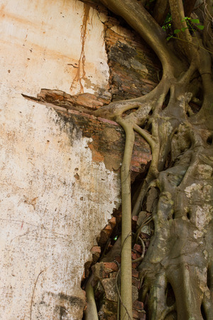 angthong: Roots and trunk large banyan vines clamped into a brick wall  Stock Photo