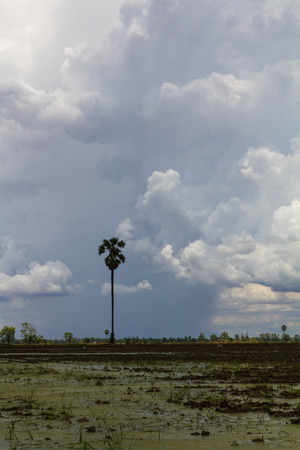 Partly cloudy covering over palm and rice farmers  photo