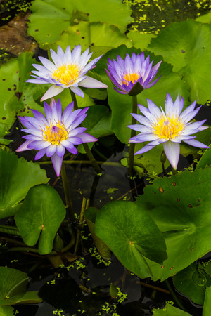Seth purple lotus grow beautifully on your water garden in Thailand  photo
