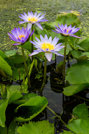 water garden:  Seth purple lotus grow beautifully on your water garden in Thailand  Stock Photo