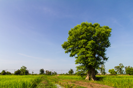 Green tree with a large trunk on a rice growing beautifully  photo