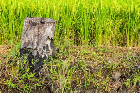 Dead stumps of felled and burned straw in green  photo