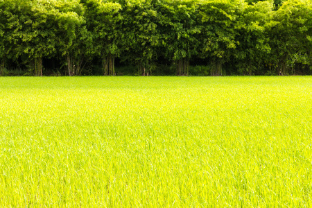 paddy field: Background of green rice seedlings in a paddy field with a bamboo scene