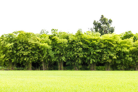 rice fields: Background of green rice fields and bamboo, which has a cloudy scene