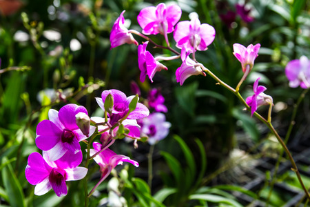 Beautiful bouquet of purple orchids blooming in the gardens of Thailand  photo