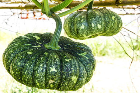 grew: Both grew pumpkins hanging on bamboo farming in Thailand. Stock Photo
