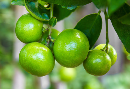 Lime green tree hanging from the branches of it. Stok Fotoğraf