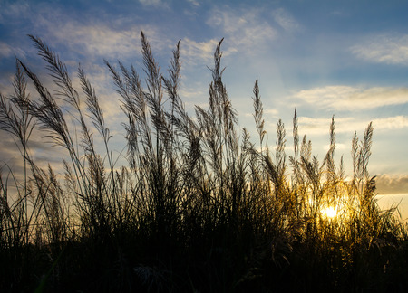 Silhouette low view of beautiful grass under sky at sunrise. photo