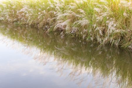 Reflets dans la fleur de l'herbe qui pousse bien sur l'eau. Banque d'images - 33806903