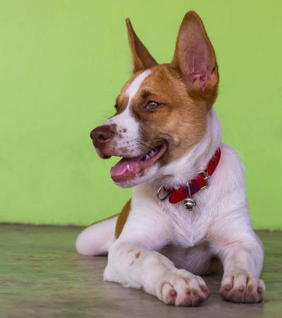 sprawled: Tailandia perro marr�n y blanco tirado en el verde muro de hormig�n.