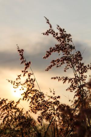 repens: Silhouette lower corner of natal grass, melinis repens, zizka.