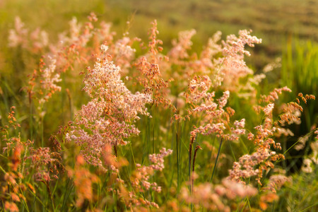 repens: Backdrop backlit colorful beauty of natal grass, melinis repens, Zizka. Stock Photo