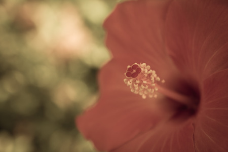 Background close-red hibiscus flower pollen pale light with bokeh. photo