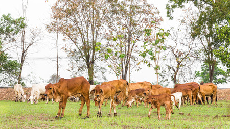 brahman: Thailand herds feeding grass, which were few in fields near barren tree.