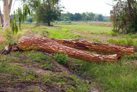 Eucalyptus be cut down, but then fell, leaving the remaining stump of the tree will be utilized.