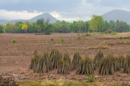 tied together: Cassava seedlings branches tied together is placed on the ground trees mountains as a backdrop.