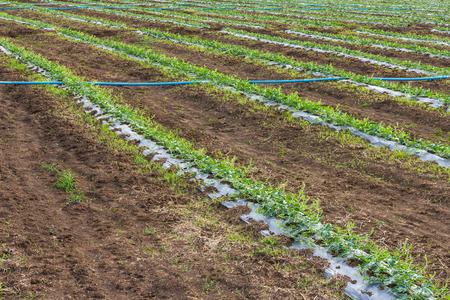 acres: Acres planted watermelon, which is covered with plastic and watered with PVC pipe.