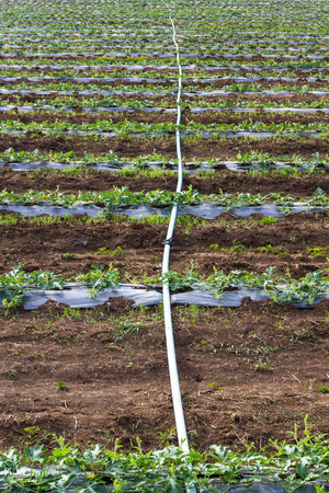 watered: Acres planted watermelon, which is covered with plastic and watered with PVC pipe.