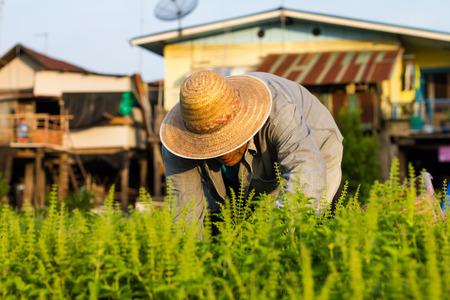 the elderly residence: Elderly man wearing a hat woven harvesting basil is bent near the residence.