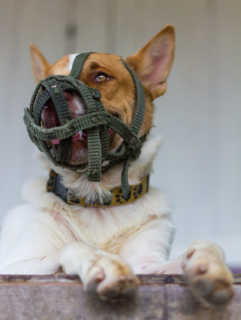 sadly: Close Thailand brown and white dog muzzle the mouth of a green knitted lying sadly.