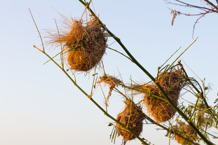 conservationist: Weaverbird many nests attached to branches, thorny weed species which surface as a backdrop.