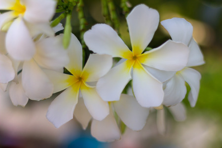 many branches: White frangipani petals bloom beautifully on many branches with background blur.