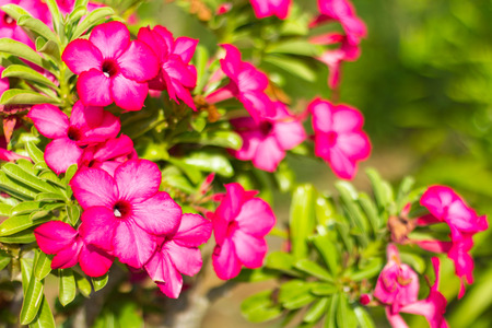 red pink: Background flowers blooming azalea, red, pink, beautiful, sunny, with background blur.