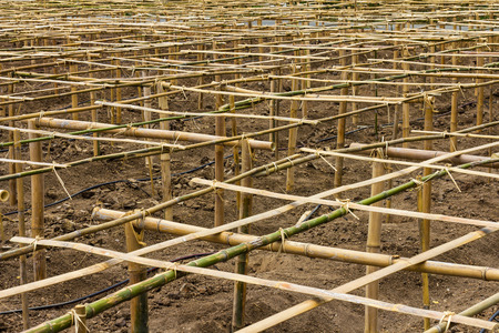 strains: Background bamboo structures which bind together a panel to bean bittersweet strains of farmers.