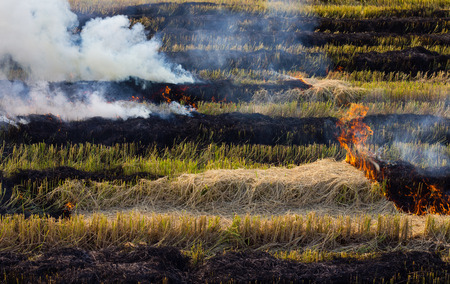 stubble: Burning straw stubble farmers may smoke pollution, which is a dangerous global warming.