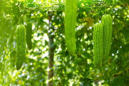 bitter fruit: Fruit, bitter gourd, long hanging garden, which is rich in agriculture, one of Thailand.