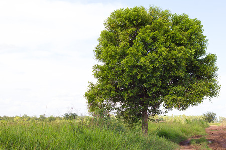 tree canopy: Single tree canopy growth is close to the road transport the soil to rice farming in Thailand.