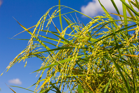 economic botany: Close-up view of a bunch of low grain which looks across to the beautiful sky.