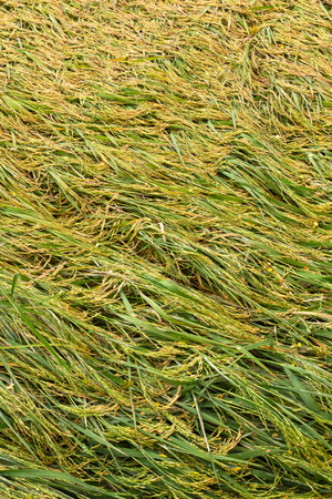 field crop: Background rice in paddy bent down by the wind and then overlap nicely awaiting harvest.