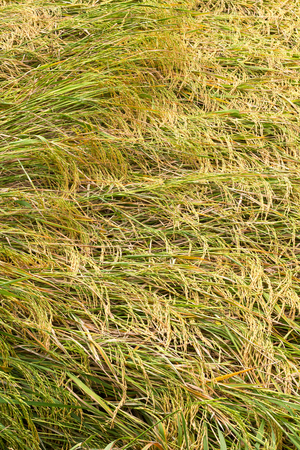 wind down: Background rice in paddy bent down by the wind and then overlap nicely awaiting harvest.