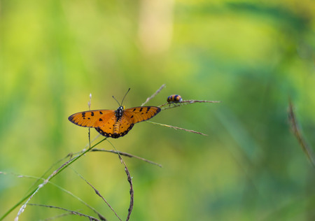 whose: Small yellow butterfly wings holding on grass with insects whose background blur bokeh.