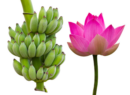 lotus: Isolate lotus pink with green bananas, which varies perfectly common in rural areas. Stock Photo