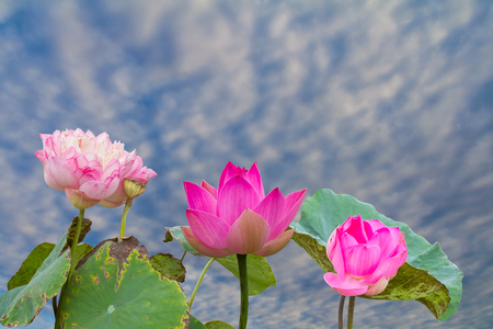 dismal: Three lotus blossom for which the wilted leaves reminded of the dismal under cloudy skies. Stock Photo
