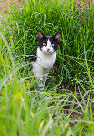 stared: Thailand black and white cat, yellow eyes sitting veil and stared out of the grass green. Stock Photo