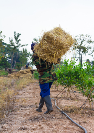 Farmers in Thailand, whose veil was bearing straw bale square to lay piled on the seedlings.