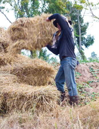 whose: Farmers in Thailand, whose veil was bearing straw bale square to lay piled on the seedlings.