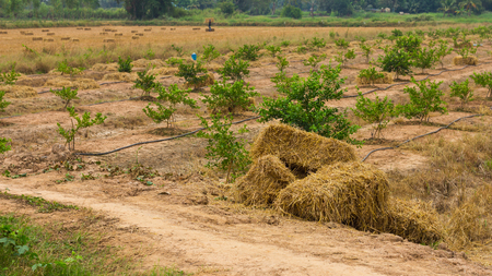 a straw: Rural landscape straw bales, which put a heap on the ground in lemon plantations and rice farmers in Thailand. Stock Photo