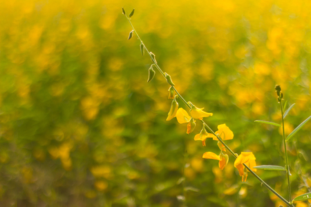 fertilizers: Close-ups of flowers Crotalaria yellow background blur filled with blooming beautifully. Stock Photo