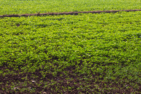 Background plantation full of green beans growing paddy cultivation to harvest as organic fertilizer. Stock Photo