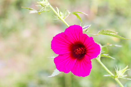 red rose bokeh: Cranberry hibiscus, purple bloom in a garden with beautiful background blur scenes.