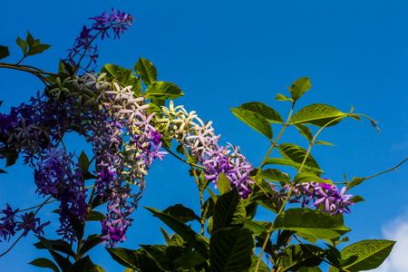 petrea: Petrea, kohautiana This spectacular sight to see through the blue sky and foliage blur.