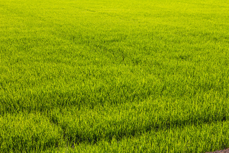 paddy: Background paddy green leaves growing in a field to yield a harvest for the next season.