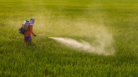 land pollution: Thailand Man farmer to spray herbicides or chemical fertilizers on the fields green rice growing.